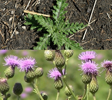 Montana Canadian Thistle Weed Musselshell County