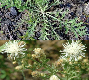 Montana Weed: Diffuse Knapweed