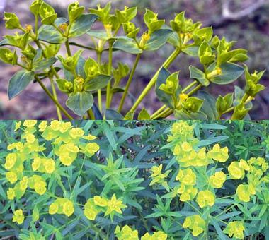 Montana Weed: Leafy Spurge