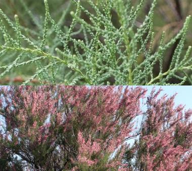 Montana Weed: Saltcedar