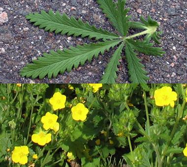 Montana Weed: Sulfur Cinquefoil