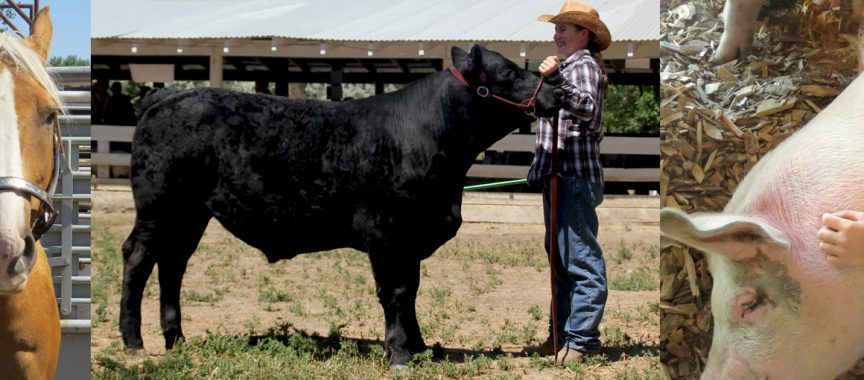 4H Livestock girls pig horse and angus cow