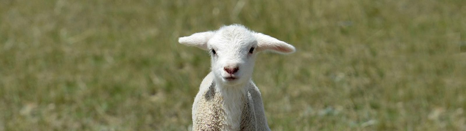 Baby Lamb in a green field - this image is not a link