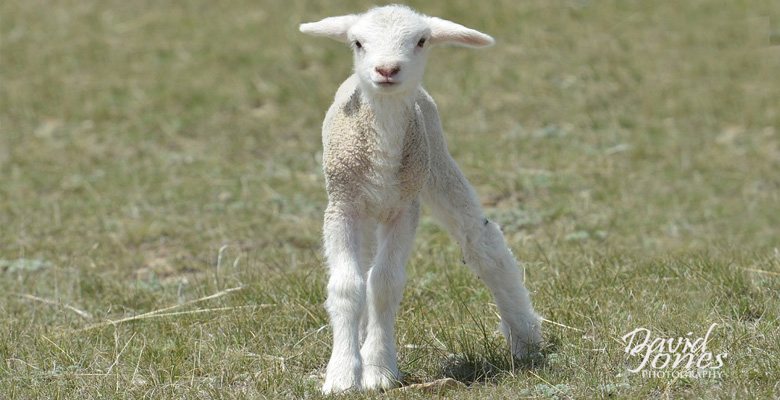 slideshow-Visit-Roundup-Montana-Sheep-Lamb - Copy